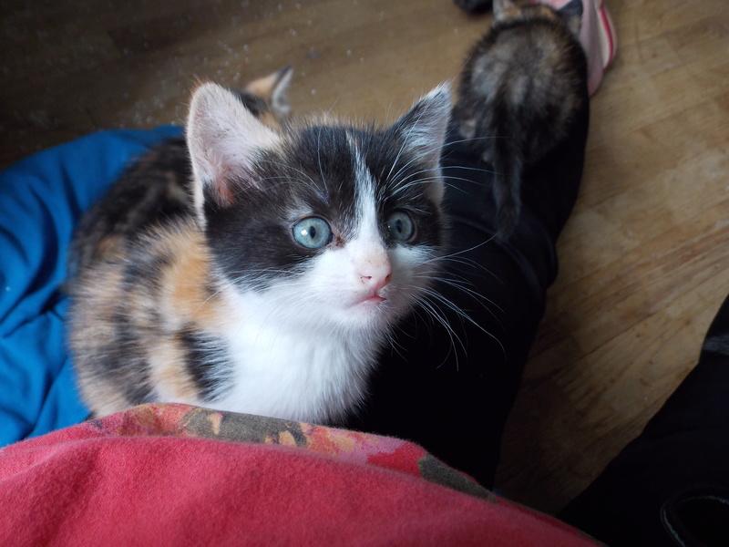 madison - Madison, chatonne tricolore, née le 20/05/16 Club_d28