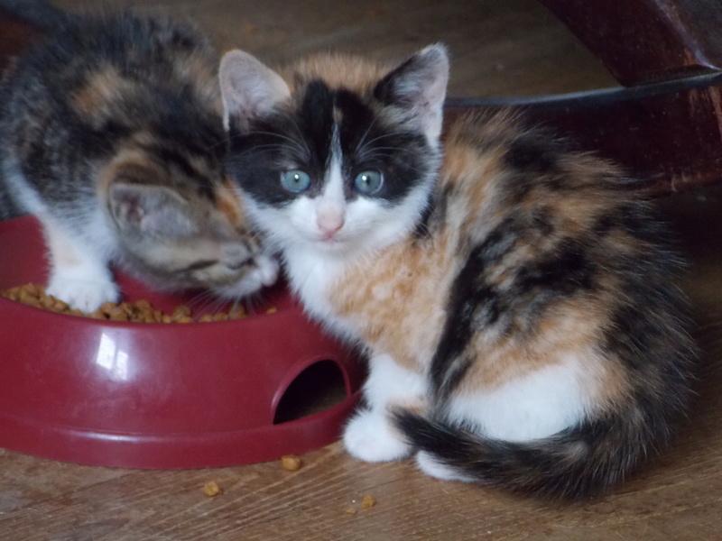 madison - Madison, chatonne tricolore, née le 20/05/16 Club_d29