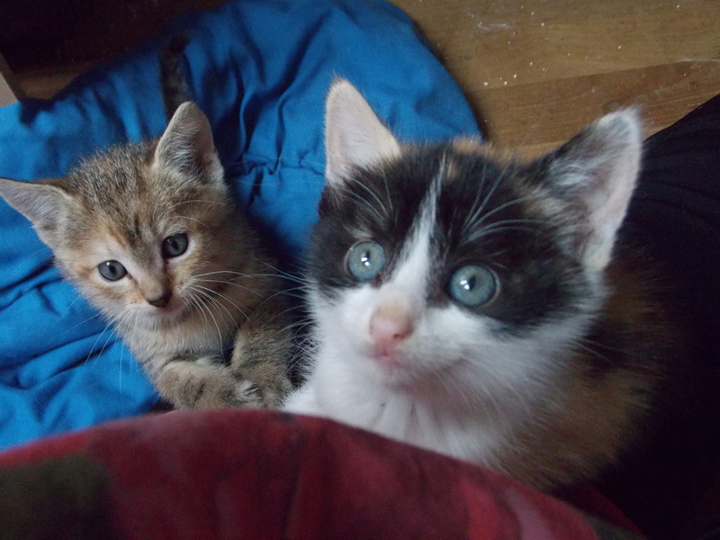 madison - Madison, chatonne tricolore, née le 20/05/16 Club_d30