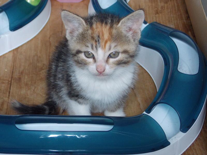 maeva - Maeva, chatonne tricolore, née le 20/05/2016 Club_d31
