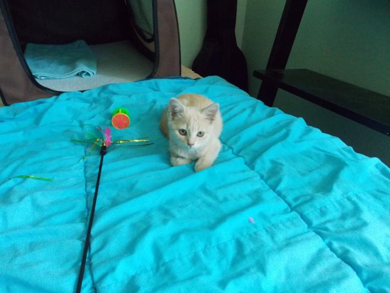 MIA, chatonne couleur beige, née le 9/03/2016 Mia_0310