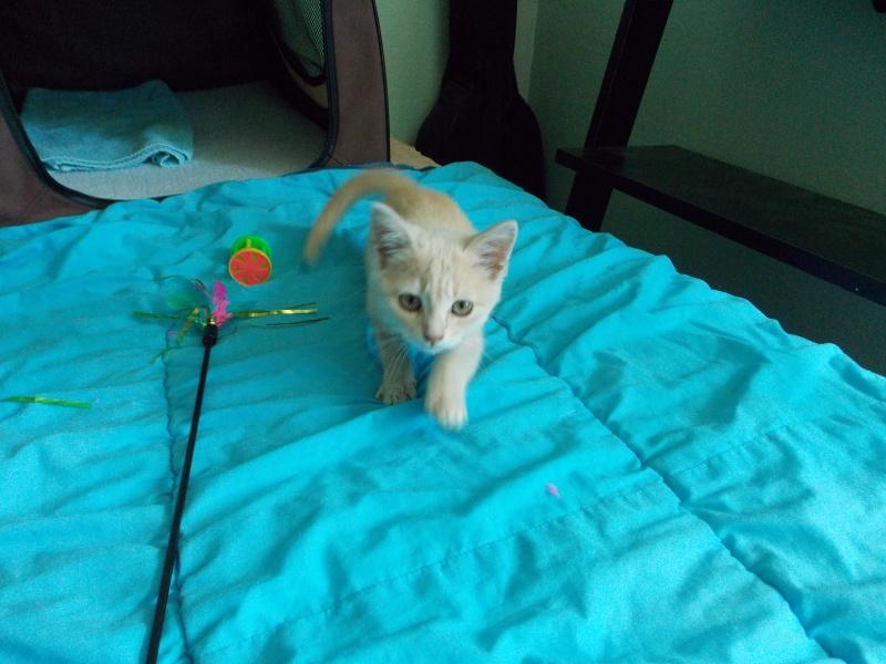 MIA, chatonne couleur beige, née le 9/03/2016 Mia_0412
