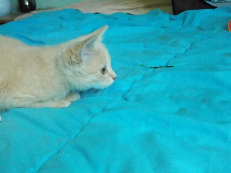 MIA, chatonne couleur beige, née le 9/03/2016 Mia_0414