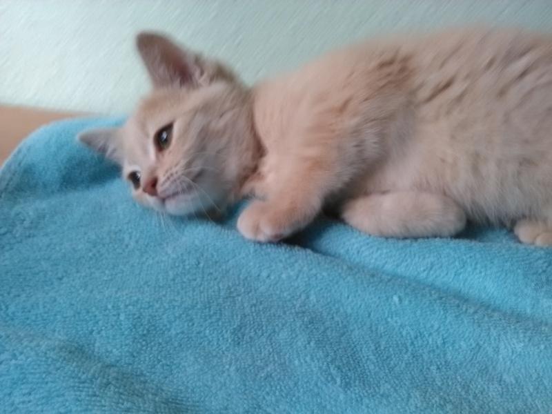 MIA, chatonne couleur beige, née le 9/03/2016 Mia_mi11