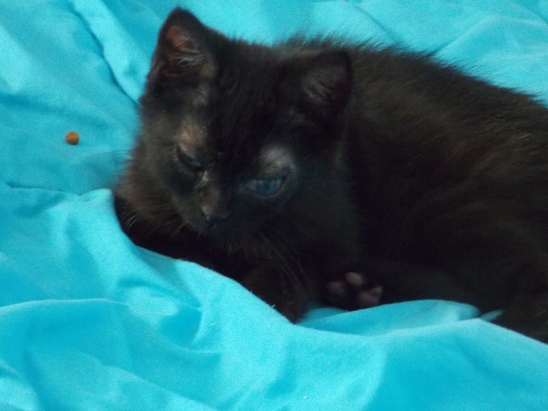 milord - Milord, chaton noir né le 01/05/2016 Milord20