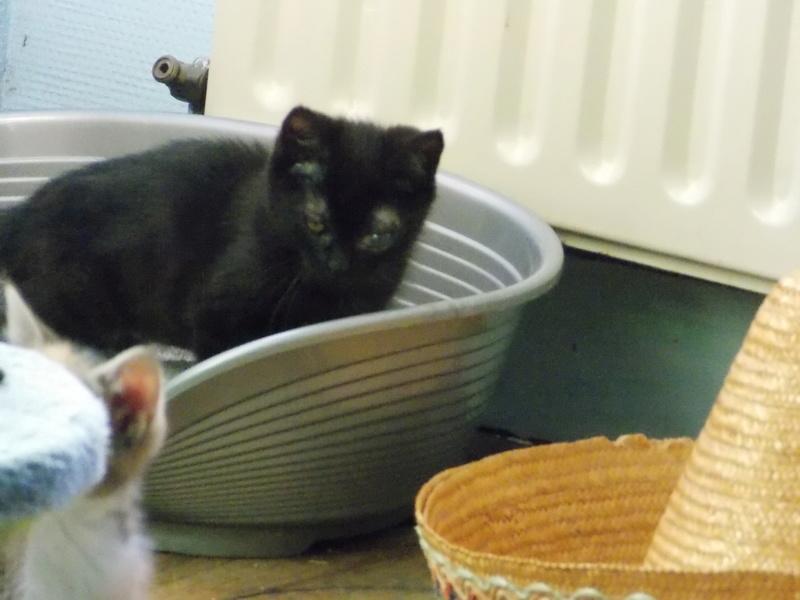 milord - Milord, chaton noir né le 01/05/2016 Milord21