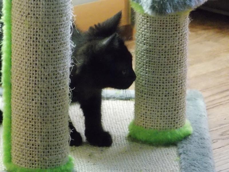 milord - Milord, chaton noir né le 01/05/2016 Milord22