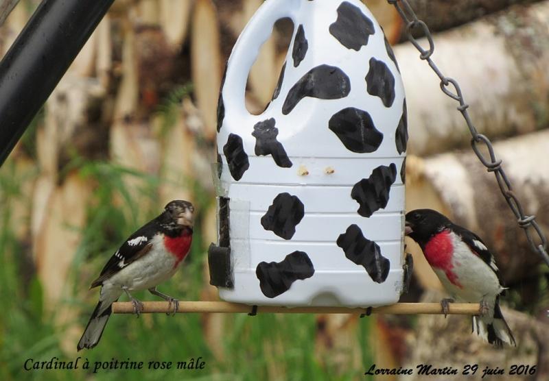 Cardinal à poitrine rose 2 mâles  Cardin18