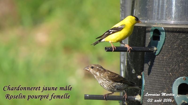 Chardonneret jaune mâle  Chardo13
