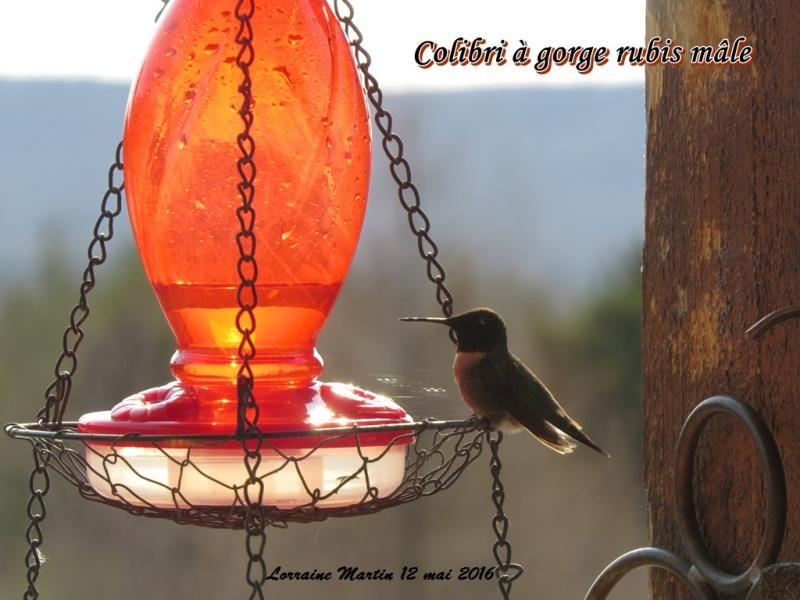 Colibri mâle  Colibr12