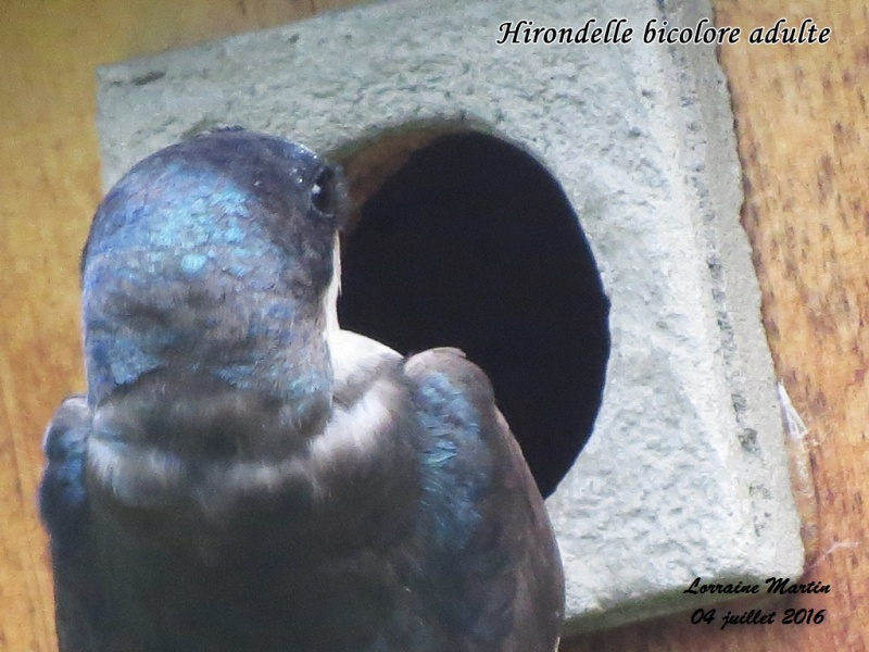 Bébés Hirondelles bicolores, 4 juillet 2016 Hirond25