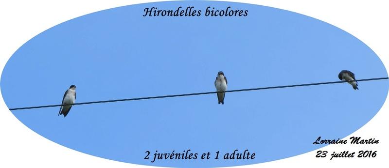 Surprise bébés Hirondelles  Hirond30