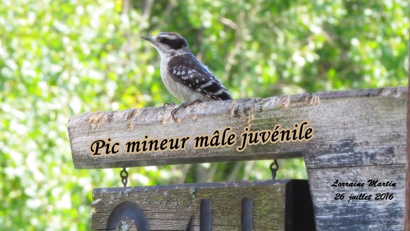 Pic mineur mâle juvénile Mineur10