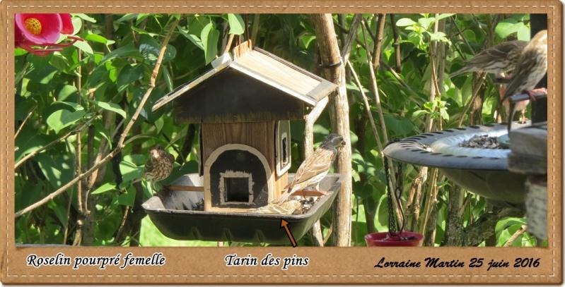 Roselin pourpré, Tarin des pins  Roseli10