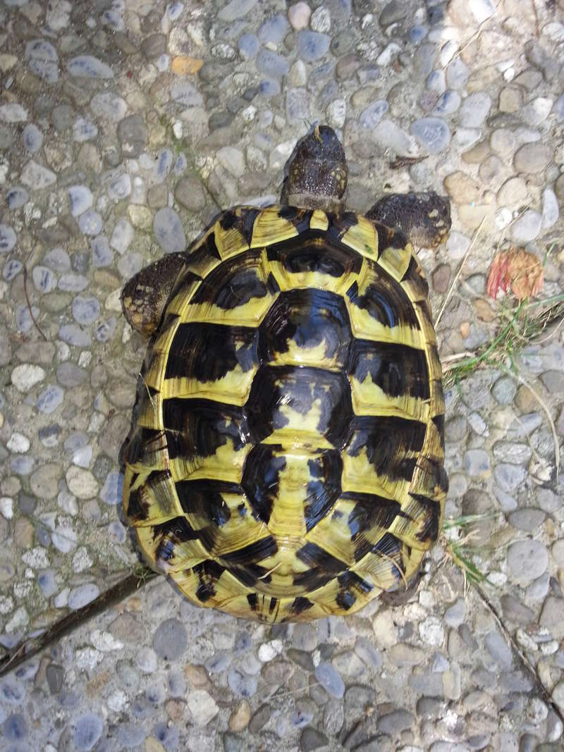 identifications et sexage Tortue10