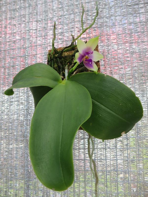 Phalaenopsis bellina x violacea (Samera) - Seite 2 2016-032