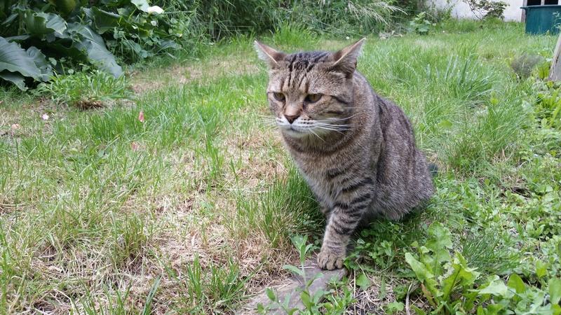 Zigual, mâle européen tigré né le 01/06/2012 20160614