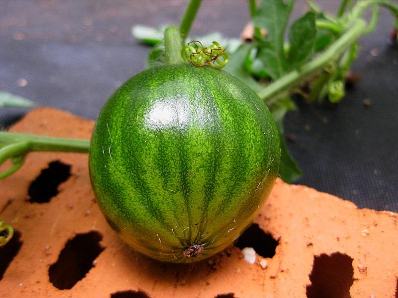 Kürbisgewächse - Cucurbitaceae: Melonen, Gurken, Kürbisse und Zucchini - alle Verteter der nichtsukkulenten Arten A2412