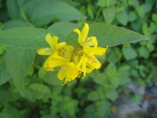 en bord de rivière : lysimaque vulgaris  Dsc00137