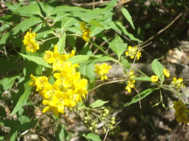 en bord de rivière : lysimaque vulgaris  Dsc00138