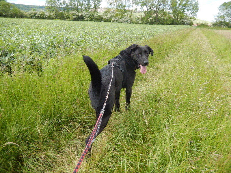LOUXOR (chien mâle croisé dogue labrador) 1_dscn16