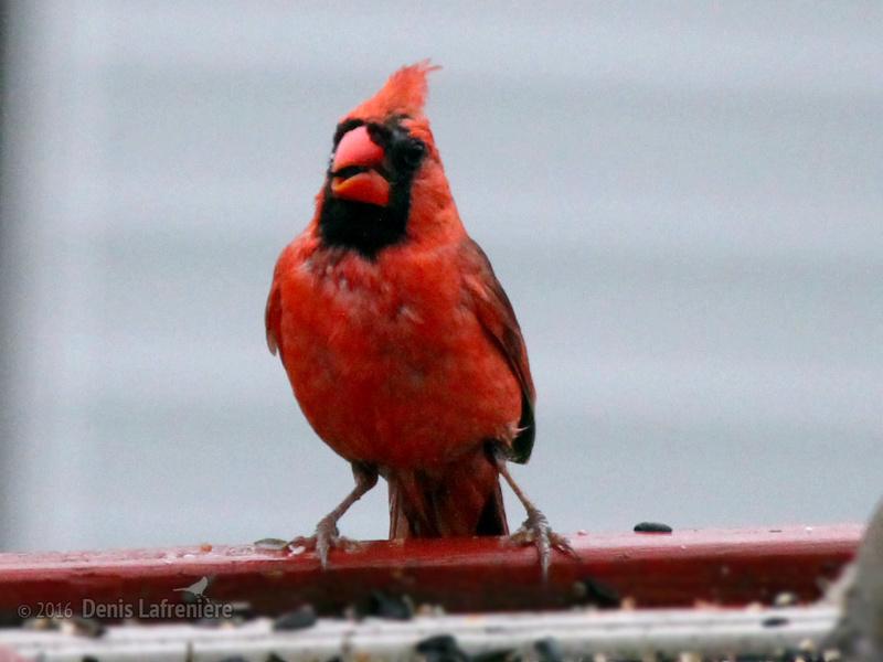 Cardinal rouge mâle Cardin13
