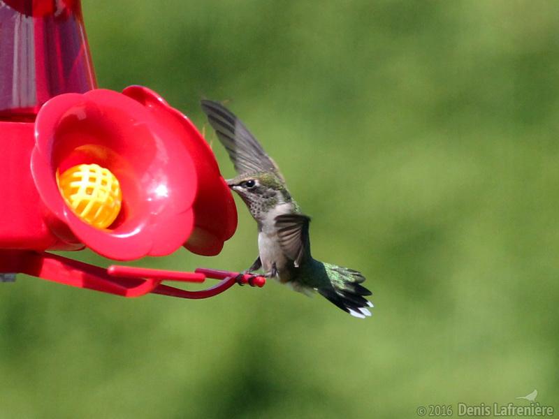 Colibri à gorge rubis - atterrissage Colibr11