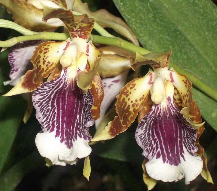 Odontoglossum harryanum und Odontoglossum wyattianum Odonto12
