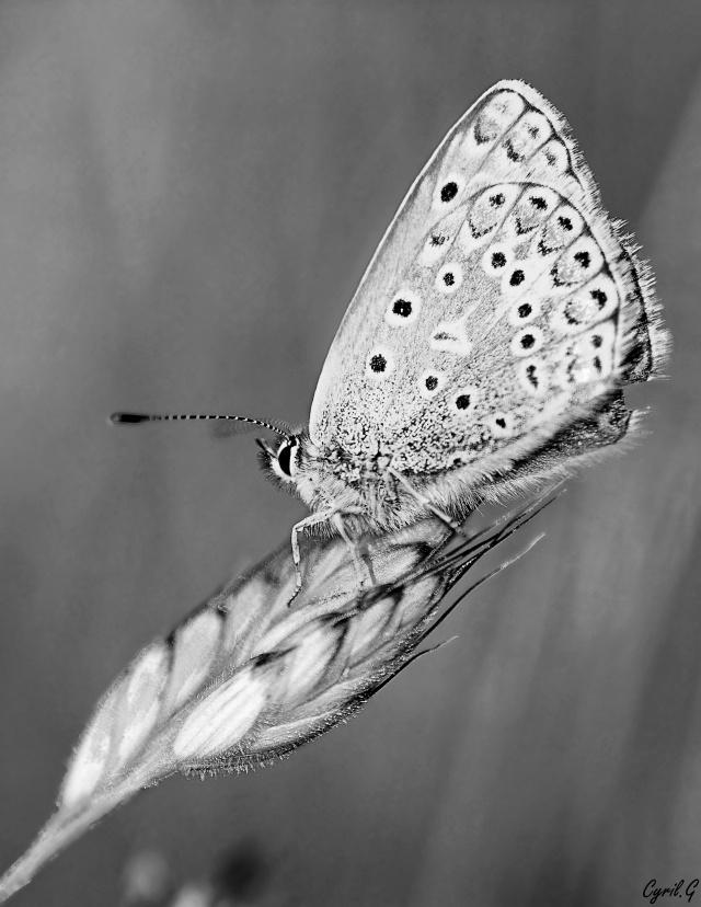 Polyommatus icarus Imgp4218