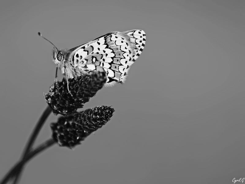Mélitée en noir et blanc Imgp4316