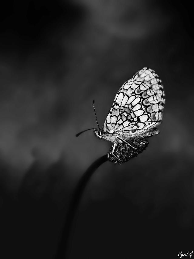 Papillon de feux (NB) Imgp4323