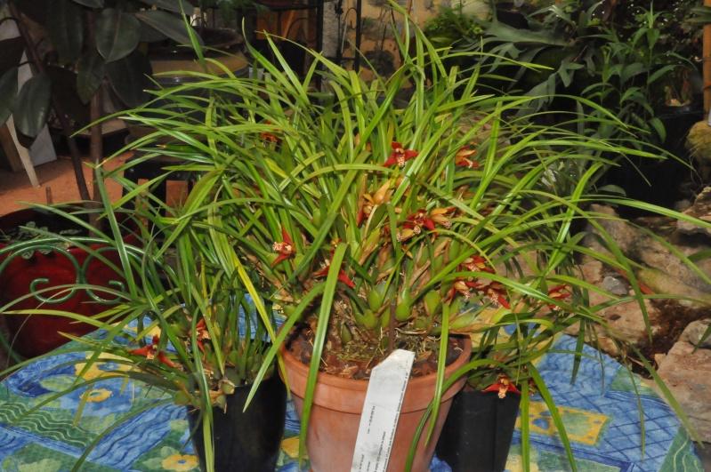Maxillaria houtteana Dsc_7711