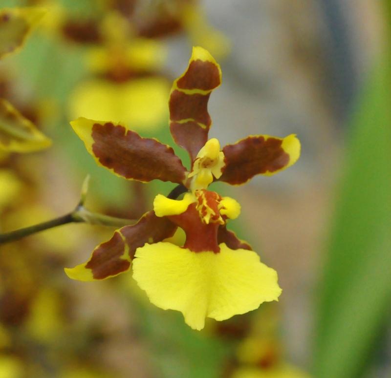 Wilsonarra Tropic Breeze 'Everglads' Dsc_7712
