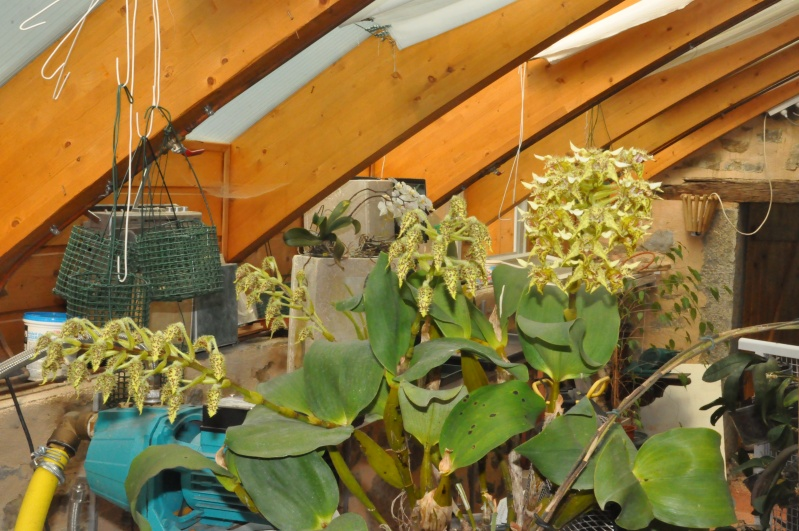 Dendrobium polysema Dsc_7715