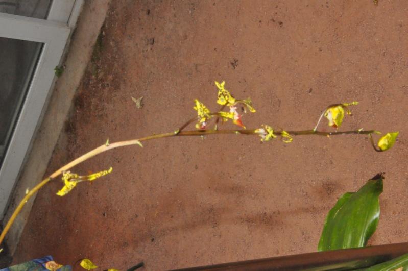 Gongora fulva Dsc_7716