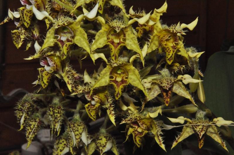 Dendrobium polysema Dsc_7813