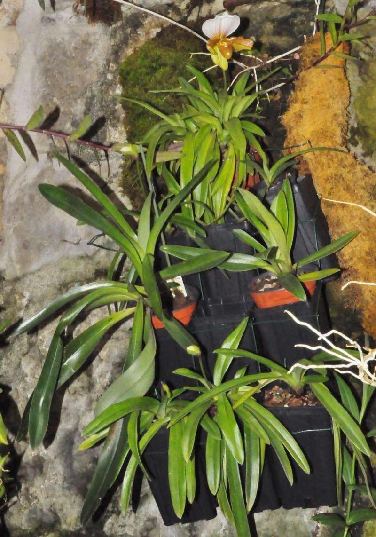 Paphiopedilum hybride Dsc_7814
