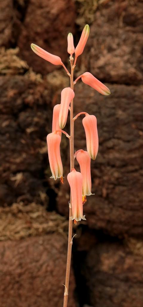 Aloe jucunda Aloe_j10