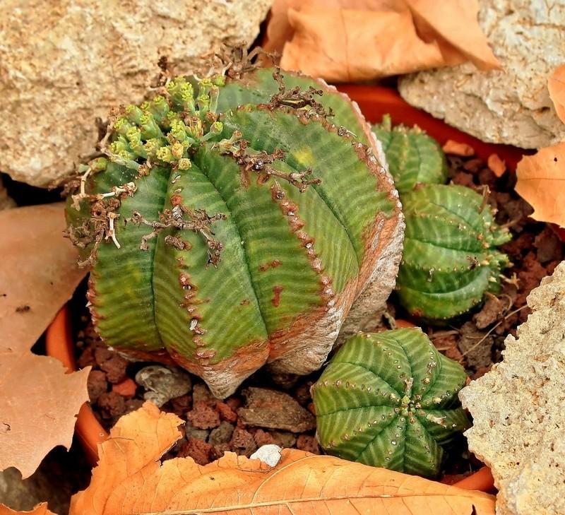 Euphorbia meloformis Euphor14