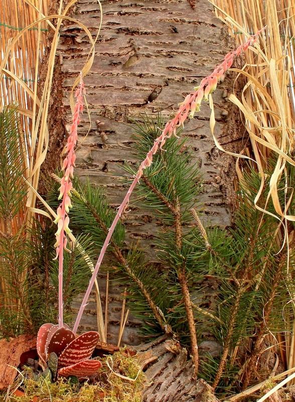 Gasteria brachyphylla Gaster12