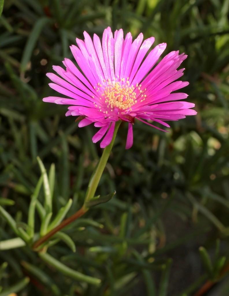 Lampranthus spectabilis Lampra10