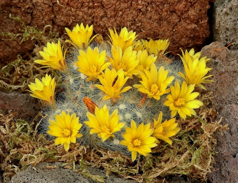 Mammillaria baumii Mammil11