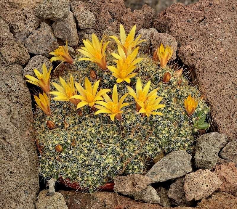 Mammillaria surculosa Mammil23