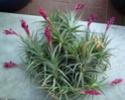 Tillandsia Aeranthos P1040610