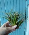 Tillandsia Califano (Ionantha x Baileyi) P1040818