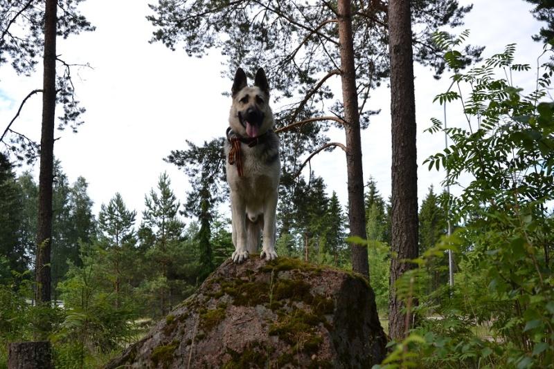 "SCANDINFVIAN SUMMER ""DOG SHOW СACIB CAC""  ""MOHOPORODNAY VEO""Чемпион Швеции Dsc_4215"