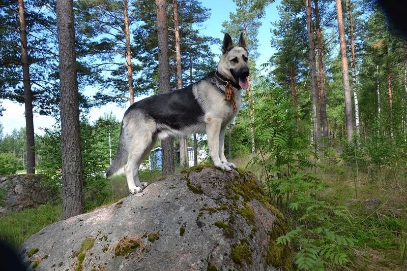 "SCANDINFVIAN SUMMER ""DOG SHOW СACIB CAC""  ""MOHOPORODNAY VEO""Чемпион Швеции Dsc_4217"