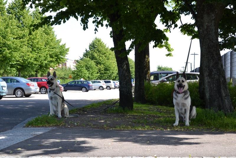 "SCANDINFVIAN SUMMER ""DOG SHOW СACIB CAC""  ""MOHOPORODNAY VEO""Чемпион Швеции Dsc_4316"