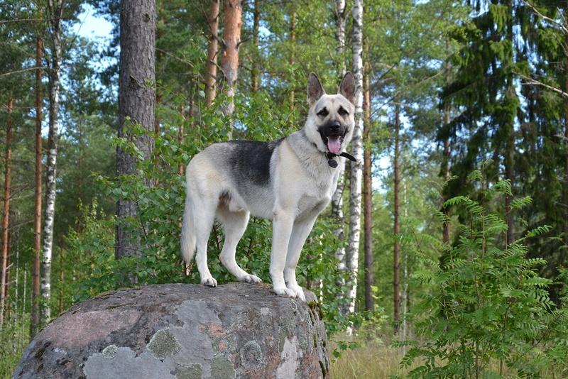 "SCANDINFVIAN SUMMER ""DOG SHOW СACIB CAC""  ""MOHOPORODNAY VEO""Чемпион Швеции Dsc_4317"