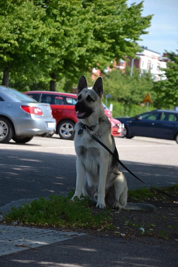 "SCANDINFVIAN SUMMER ""DOG SHOW СACIB CAC""  ""MOHOPORODNAY VEO""Чемпион Швеции Dsc_4318"